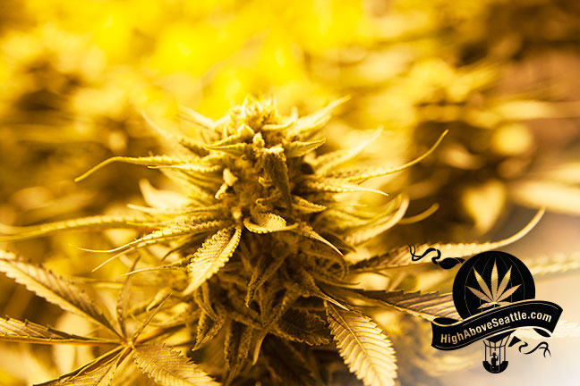 avitas-agriculture-cannabis-plant